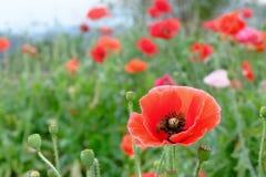 Rote Schlafmohnblume mit Bienen Lizenzfreie Stockfotografie