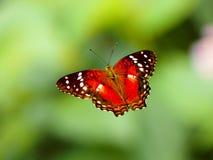 Rote Schmetterlinge der Lepidoptera punktiert mit Weiß stockfoto