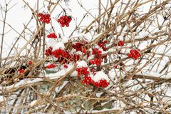 Rote Schneeballbeeren im Winter Stockbilder