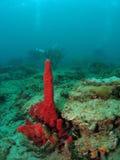 Rote Schwamm-Koralle und Taucher stockfotos