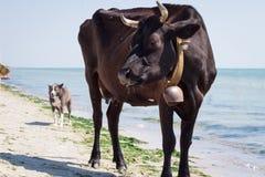 Rote schwarze Kuh des durstigen inländischen Bauernhofes, die auf Seestrandküstenlinie unter Leuten und Hunden geht lizenzfreies stockfoto