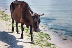 Rote schwarze Kuh des inländischen Bauernhofes, die auf Seestrandküstenlinie geht lizenzfreie stockbilder