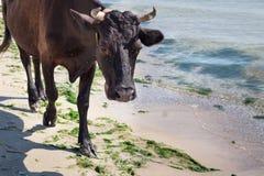 Rote schwarze Kuh des inländischen Bauernhofes geht auf Seeküstenstrandküstenlinie lizenzfreie stockfotos