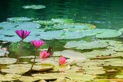 Rote Seerose, nationale Blume von Sri Lanka und Bangladesch Lizenzfreies Stockfoto