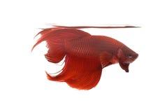 Rote siamesische kämpfende Fische Lizenzfreie Stockfotografie