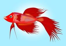 Rote siamesische kämpfende Fische Lizenzfreies Stockbild