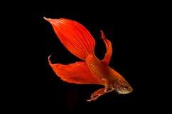 Rote siamesische kämpfende Fische stockbilder