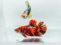 Rote Smaragd- und gelbe plakat betta Fische mit flaumigen Flossen lizenzfreie stockfotos