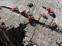 Rote Soldatwanzen auf Stumpf Stockfotos