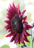 Rote Sonnenblume Lizenzfreie Stockfotos
