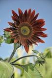 Rote Sonnenblume Lizenzfreie Stockbilder