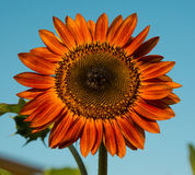 Rote Sonnenblume Stockfotografie