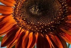 Rote Sonnenblume Lizenzfreies Stockfoto
