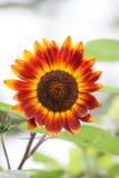 Rote Sonnenblume Stockfotos