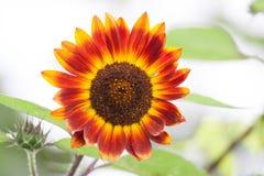 Rote Sonnenblume Stockbilder
