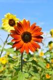Rote Sonnenblume am Falltag in Littleton, Massachusetts, Middlesex County, Vereinigte Staaten Neu-England Fall stockfotografie