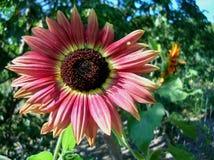 Rote Sonnenblume, Grünhintergrund lizenzfreies stockfoto