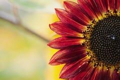 Rote Sonnenblume mit gelben Höhepunkten Stockfoto