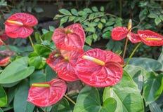 Rote Spadix-Blume im Garten Stockfotografie