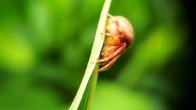 Rote Spinne auf grünem Blatt Stockbild