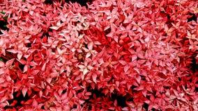 Rote Spitzenblume für den Hintergrund Stockfoto