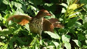 Rote Spottdrossel, die ihr Nest schützt Stockfotografie