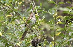 Rote Spottdrossel Georgia State Bird stockfotos