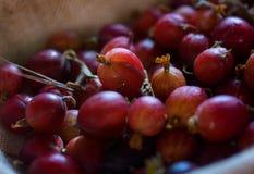 Rote Stachelbeeren Stockfotos
