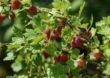 Rote Stachelbeeren auf Niederlassungen im Garten Ribes grossularia Stockbilder