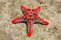 Rote Starfish Stockbild