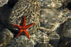 Rote Starfish auf einem Felsen unter Wasser Stockfoto
