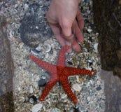 Rote Starfish u. Mensch in den Armen Stockbild