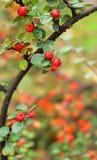 Rote Stechpalme mit grünen Blättern Stockfoto
