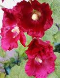 Rote Stockroseblume an einem sonnigen Sommertag Stockfoto