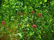 Rote Sumpfgebiet-Blumen lizenzfreies stockbild