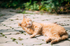 Rote Tabby Cat Male Kitten Lick Washes selbst stockfoto