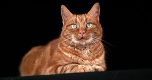 Rote Tabby Domestic Cat, Erwachsener, der gegen schwarzen Hintergrund legt, stock video