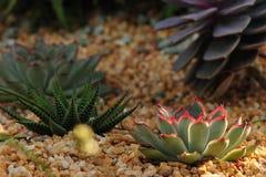 Rote Tippkaktuspflanze Stockbilder