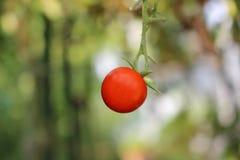 Rote Tomate Lizenzfreies Stockbild