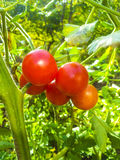 Rote Tomate Stockbild
