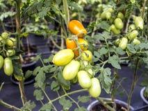 Rote Tomate ist in der Plastikplatte auf roter Tischdecke lizenzfreie stockfotografie