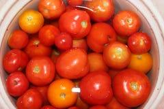 Rote Tomate sehr reif und geschmackvoll stockfotografie