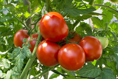 Rote Tomaten auf Rebe stockbilder