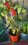 Rote Tomaten in den Töpfen auf dem Balkon Lizenzfreies Stockbild