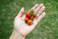 Rote Tomaten der verschiedenen Größe in der Hand auf Hintergrund des grünen Grases lizenzfreies stockbild