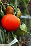 Rote Tomaten, die auf dem Busch wachsen Lizenzfreie Stockbilder