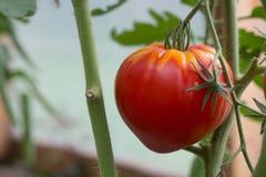 Rote Tomaten, die im Gewächshaus wachsen stockbilder