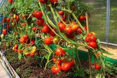 Rote Tomaten in einem Gewächshaus Lizenzfreies Stockbild