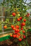 Rote Tomaten in einem Gewächshaus Stockfotos