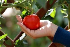 Rote Tomaten am Gemüsegarten stockbilder
